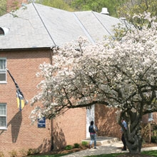 Cherry tree blooms outside Merriweather Hall located on the Mount Vernon Campus